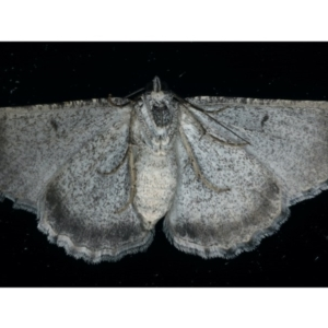 Psilosticha mactaria at Ainslie, ACT - 5 Dec 2019