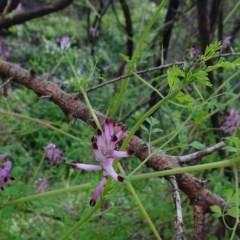 Fumaria officinalis (Common Fumitory) at Quaama, NSW - 24 Jun 2020 by JackieMiles