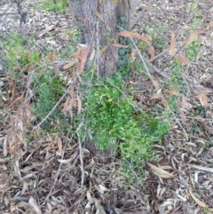 Asparagus asparagoides (Bridal Creeper, Florist's Smilax) at Campbell, ACT - 27 Jun 2020 by SilkeSma
