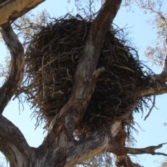 Aquila audax (Wedge-tailed Eagle) at Gordon, ACT - 28 Jun 2020 by ChrisHolder