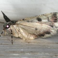 Aeolochroma metarhodata at Ainslie, ACT - 5 Dec 2019