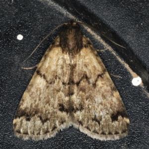 Mormoscopa phricozona at Ainslie, ACT - 5 Dec 2019