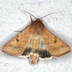 Helicoverpa punctigera at Ainslie, ACT - 5 Dec 2019