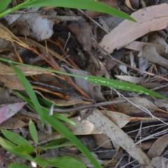 Ehrharta erecta (Panic Veldtgrass) at Wamboin, NSW - 22 Apr 2020 by natureguy