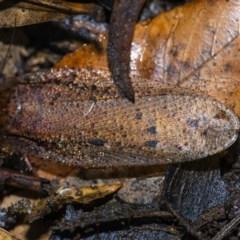 Calolampra sp. (genus) (Bark cockroach) at ANBG - 22 Jun 2020 by WHall