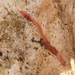 Oligochaeta sp. (class) (Unidentified earthworm) at ANBG - 22 Jun 2020 by WHall