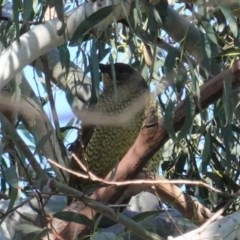 Ptilonorhynchus violaceus (Satin Bowerbird) at Jerrabomberra Wetlands - 28 Jun 2020 by JackyF