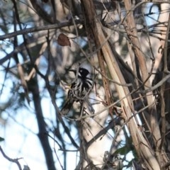 Phylidonyris novaehollandiae (New Holland Honeyeater) at Jerrabomberra Wetlands - 28 Jun 2020 by JackyF