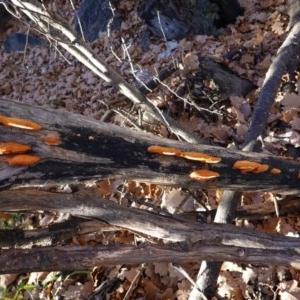 Pycnoporus coccineus at Red Hill Nature Reserve - 28 Jun 2020