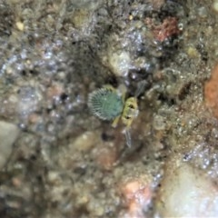 Symphypleona sp. (order) (Globular springtail) at Mount Painter - 24 Jun 2020 by CathB