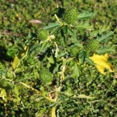 Datura stramonium (Common Thornapple) at Yatte Yattah, NSW - 26 Jun 2020 by CBrandis