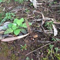 Caladenia sp. at Mount Majura - 28 Jun 2020 by petersan