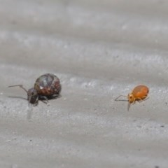Symphypleona sp. (order) (Globular springtail) at ANBG - 28 Jun 2020 by TimL