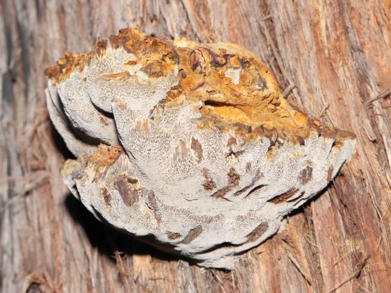 Pseudoinonotus chondromyelus at ANBG - 24 Jun 2020