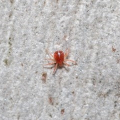 Acari sp. (informal subclass) (Unidentified mite) at ANBG - 21 Jun 2020 by TimL