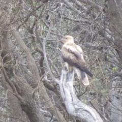 Haliastur sphenurus (Whistling Kite) at Ben Boyd National Park - 17 Jun 2020 by LizAllen