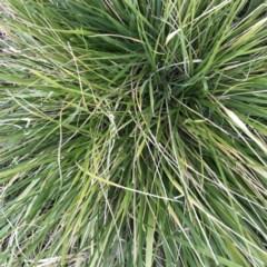 Nassella neesiana (Chilean Needle Grass) at Hughes, ACT - 29 Jun 2020 by ruthkerruish
