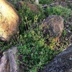 Fumaria sp. (Fumitory) at Hughes Garran Woodland - 26 Jun 2020 by ruthkerruish