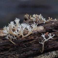 Artomyces sp. (A coral fungus) at Cotter River, ACT - 28 May 2020 by KenT