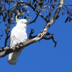 Cacatua galerita (Sulphur-crested Cockatoo) at Goorooyarroo - 28 Jun 2020 by Tammy