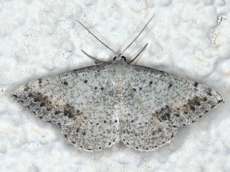 Taxeotis intextata at Ainslie, ACT - 25 Nov 2019