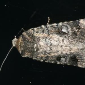 Thoracolopha verecunda at Ainslie, ACT - 25 Nov 2019