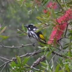 Phylidonyris novaehollandiae (New Holland Honeyeater) at Wamboin, NSW - 28 Apr 2020 by natureguy