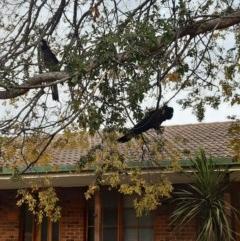 Zanda funereus (Yellow-tailed Black-Cockatoo) at Banks, ACT - 30 Jun 2020 by Courtz