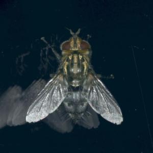 Tachinidae sp. (family) at Ainslie, ACT - 25 Nov 2019