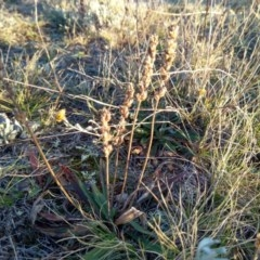 Plantago gaudichaudii (Narrow plantain) at Giralang, ACT - 30 Jun 2020 by ElizaL