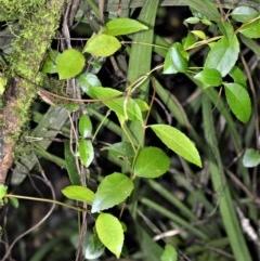 Aphanopetalum resinosum (Gum Vine) at Robertson - 30 Jun 2020 by plants