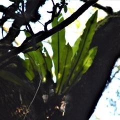 Asplenium australasicum (Bird's Nest Fern, Crow's Nest Fern) at - 30 Jun 2020 by plants