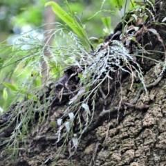 Asplenium flaccidum subsp. flaccidum (Weeping Spleenwort) at - 30 Jun 2020 by plants