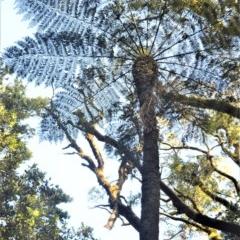 Cyathea australis (Rough tree fern) at Robertson, NSW - 30 Jun 2020 by plants