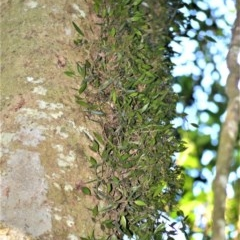 Dendrobium pugioniforme (Dagger Orchid) at Robertson - 30 Jun 2020 by plants