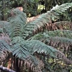 Dicksonia antarctica (Soft Treefern) at - 30 Jun 2020 by plants