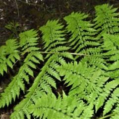 Diplazium australe (Austral lady fern) at - 30 Jun 2020 by plants
