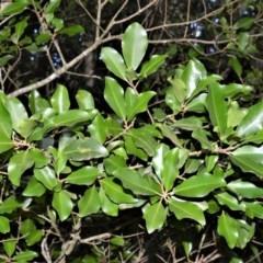 Myrsine howittiana (Brush Muttonwood) at Robertson, NSW - 30 Jun 2020 by plants