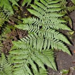 Lastreopsis microsora (Creeping Shield Fern) at - 30 Jun 2020 by plants