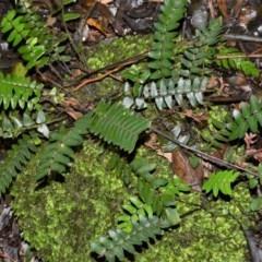 Pellaea nana (Dwarf Sickle Fern) at Robertson, NSW - 30 Jun 2020 by plants