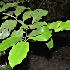Pennantia cunninghamii (Brown Beech) at Robertson, NSW - 30 Jun 2020 by plants