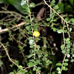 Pittosporum multiflorum (Orange Thorn) at Robertson, NSW - 30 Jun 2020 by plants