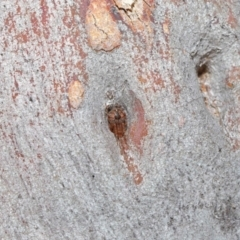 Araneus sp. (genus) at ANBG - 26 Jun 2020