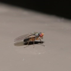 Diptera (order) (Unidentified fly) at ANBG - 30 Jun 2020 by TimL