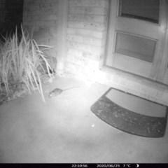 Rattus rattus (Black Rat) at Rivendell Mimosa Park Road - 25 Jun 2020 by vivdavo