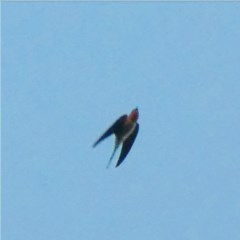 Hirundo neoxena (Welcome Swallow) at Red Hill Nature Reserve - 1 Jul 2020 by Ct1000