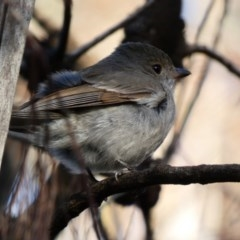 Pachycephala pectoralis (Golden Whistler) at Red Hill Nature Reserve - 1 Jul 2020 by Ct1000