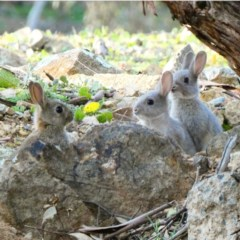 Oryctolagus cuniculus (European Rabbit) at Red Hill Nature Reserve - 1 Jul 2020 by Ct1000