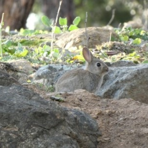 Oryctolagus cuniculus at Red Hill Nature Reserve - 1 Jul 2020
