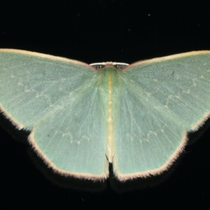Chlorocoma dichloraria at Ainslie, ACT - 28 Nov 2019